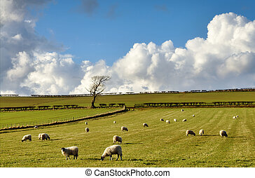 View of sheep in the English Countryside