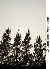 aligned pine trees