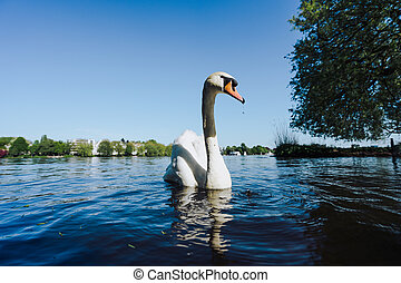 View of the Alster lake and white grace swan swimming on Alster Lake in Hamburg on a sunny day