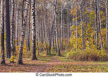 View of the autumn birch tree grove at day time.