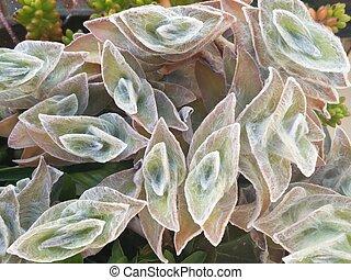 Cobweb Spiderwort (Tradescantia sillamontana)