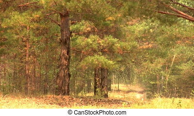 view of the beautiful pine forest