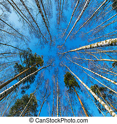 View of the birch trees crowns.