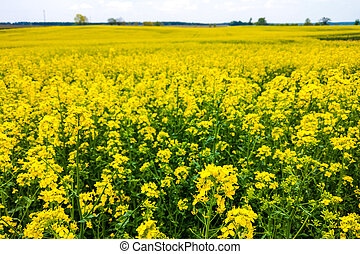 View of the blooming canola field, nature background.
