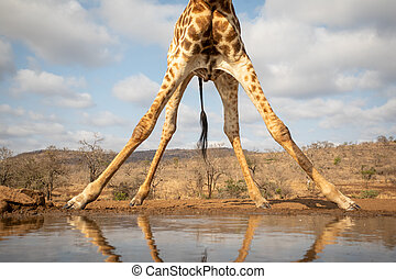 View of the bottom part of a giraffe