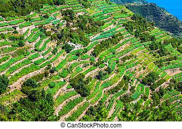 View of the Cinque Terre village coastline of Vernazza, vine and