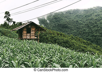 View of the corn field on the mountain