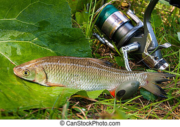 View of the European chub fish and fishing rod with reel on the natural background.