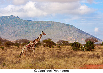 View of the Giraffe in Tsavo National Park in Kenya, Africa. Safari car, blue sky with clouds and mountain