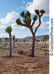view of the Joshua tree (Yucca brevifolia) in summer