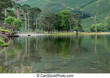 View of the pine trees at Buttermere