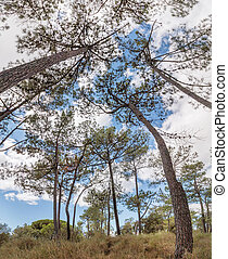 View of the pinus pinaster tree with branches over a blue sky with white clouds.