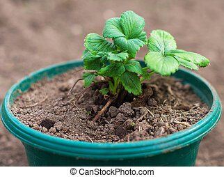 View of the pot with strawberry seedlings.
