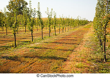 View of the rows of apple trees