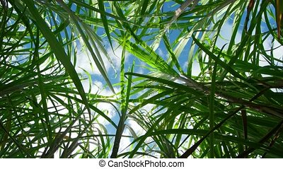 View of the sky from the thickets of sugar cane. Rotation video