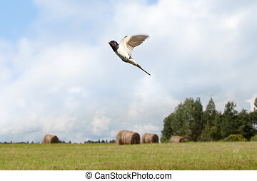 view of two swallow birds flying on countryside summer background
