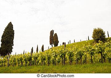 View of vineyards in Fagagna, Friuli Venezia Giulia. Italy
