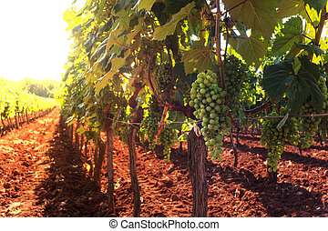 View of vineyards, Istria - View of vineyards in the Istrian...