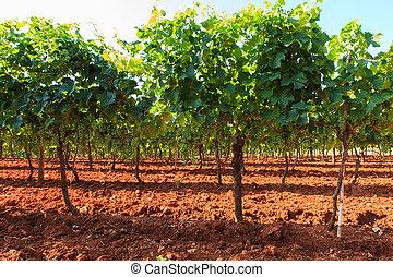 View of vineyards, Istria