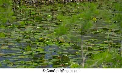 View of wetland swamp forest lake close up. Swamp in the...