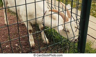 View of white goat in aviary behind the green fence. Zoo. Animals. Summer day
