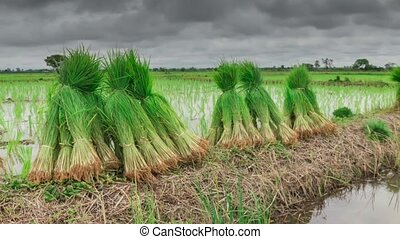 View of Young rice sprout