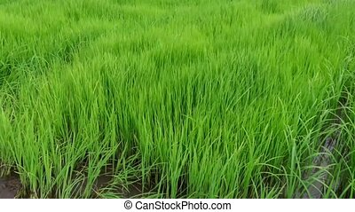 View of Young rice