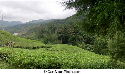 View on a hill covered with tea plantations