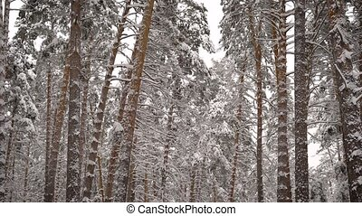 View on a snowy forest. Spruce, pine, birch - all the high trees covered with snow. Beautiful frosty day in which you want to go through the woods and enjoy nature.