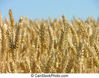 corn ready for the harvest - View on a yellow field with...