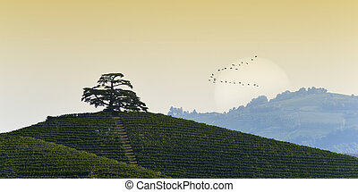 View on Cedar of Lebanon in Monfalletto in the Annunziata...