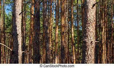 View on dense pine tree forest on sunny autumn day