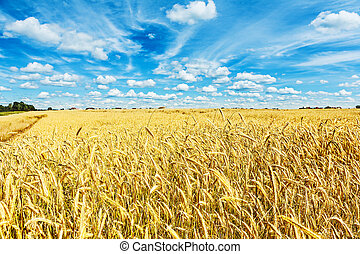 view on field of wheat and beauty cloudy blue sky