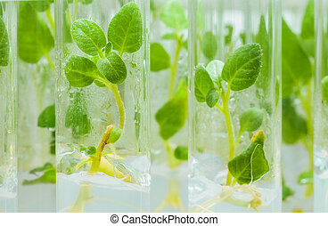 view on litle plants of potato in lab tubes