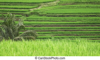 View on rice terraces of mountain and house of farmers Jatiluwih Bali, Indonesia