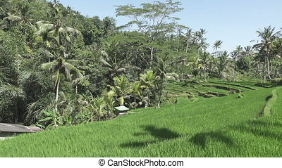 View on rice terraces of mountain and house of farmers Bali, Indonesia
