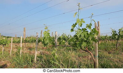 View on vineyard. - Young vineyard is planted in parallel...