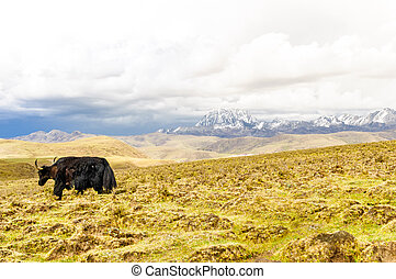 Yak before Mount Yala in highlands of Sichuan in China
