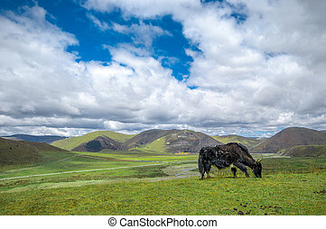 Yak in front of Tagong grassland in Sichuan - China