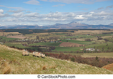 View over Strathendrick with group of sheep
