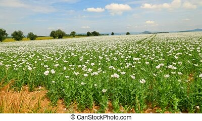 View over white poppy flowers moving in the wind. Filed with poppy blossoms and green poppy heads in background. From papaver somniferum is extracted raw material for opium and many refined opiates.