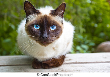 View Siamese Cat - Siamese cat warily watching, sitting on a...