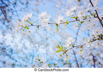 view the branch of blossoming cherrytree on background blue s
