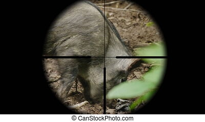View through a rifle optical sight on a wild animal in the forest. The hunter takes aim at the boar.