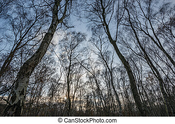 Sherwood forest birch trees