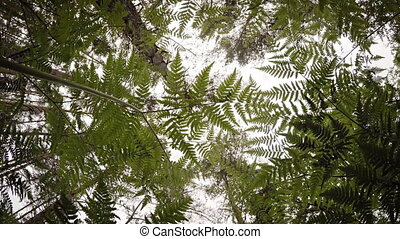 View to tree tops through the ferns. FullHD vodeo with natural sounds