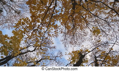 View to tree tops with yellow bright maple leaves with blue...