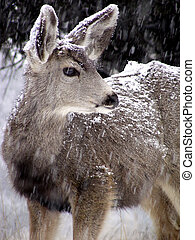 Vigilant Doe - Female mule deer in a Colorado snowstorm