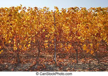 vigne, feuilles, ensoleillé, vignoble, jaune, jour automne, rang