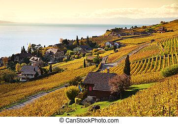 vigne, in, lavaux, regione, svizzera